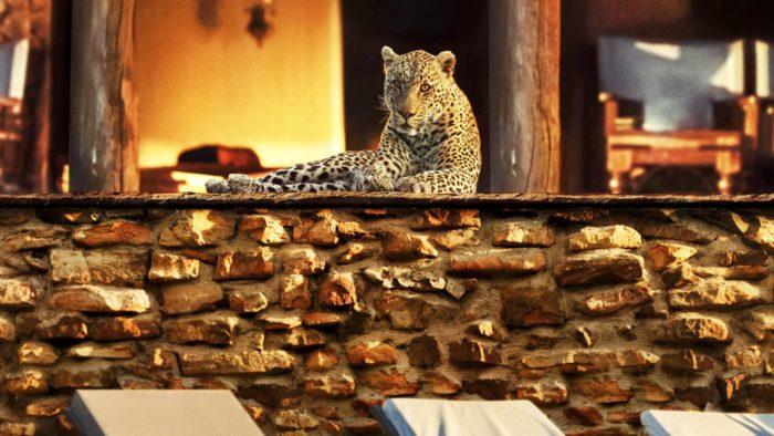 Báo chiếm cứ 1 resort sang trọng không có bóng người ở châu Phi, và thay vì săn đêm chúng chuyển sang săn mồi vào ban ngày