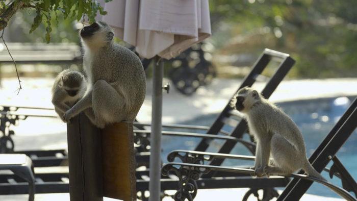 Bầy khỉ check in resort 5 sao