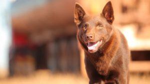 [Review Phim] Red Dog-Chú Chó Trung Thành